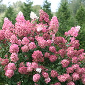 hydrangea_paniculata_fire_light_img_3525.jpg