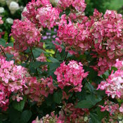 hydrangea_paniculata_fire_light_img_3628.jpg