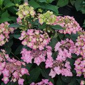 Let's Dance Cancan™ - Reblooming hydrangea - Hydrangea serrata