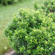Castle Keep® - Blue Holly - Ilex x meserveae