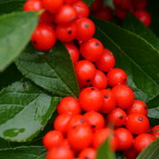 ilex_verticillata_berry_heavy_p1001937.jpg