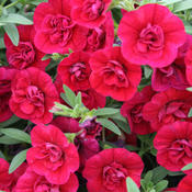 Superbells® Double Ruby - Double Calibrachoa - Calibrachoa hybrid