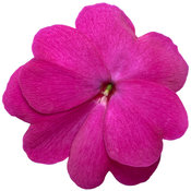 impatiens_infinity_light_purple_improved_macro_01.jpg