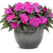 impatiens_infinity_light_purple_improved_mono.jpg