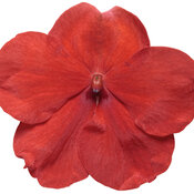 impatiens_sopranor_bright_red_macro_03.jpg