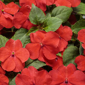 Soprano® Bright Red - Bedding Impatiens - Impatiens walleriana