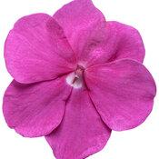 impatiens_sopranor_violet_shades_macro_03.jpg