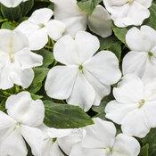 Soprano® White - Bedding Impatiens - Impatiens walleriana