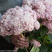 incrediball_blush_hydrangea-2.jpg