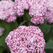 incrediball_blush_hydrangea-3.jpg