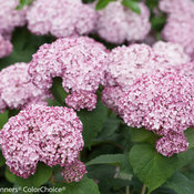 incrediball_blush_hydrangea-4.jpg