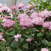 incrediball_blush_hydrangea-5.jpg