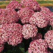 incrediball_blush_hydrangea_blooms.jpg