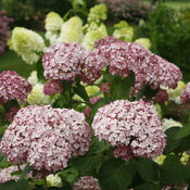 incrediball_blush_hydrangea_flowers.jpg