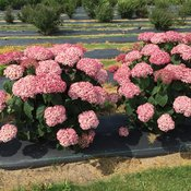 incrediball_blush_pink_annabelle_hydrangea.jpg