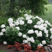 incrediball_hydrangea_native_plant.jpg