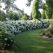 incrediball_hydrangea_planting.jpg