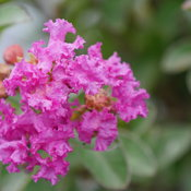 infinitini_purple_crapemyrtle_4.jpg