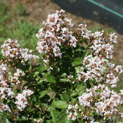 Infinitini® White - Crapemyrtle - Lagerstroemia indica