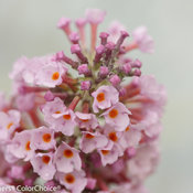 inspired_pink_buddleia-.jpg