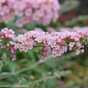 inspired_pink_buddleia-2.jpg