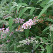 inspired_pink_buddleia-3.jpg