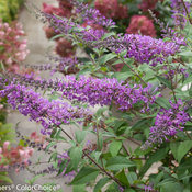 InSpired Violet Buddleia (butterfly bush)