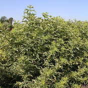 instant_karma_variegated_eldeberry_plant.jpg