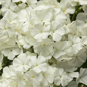Intensia® White Imp