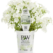 intensia_white_phlox_branded_container.jpg