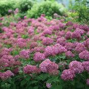 Purple Annabelle hydrangea