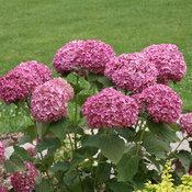 easy to grow pink hydrangea