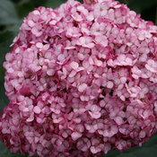 invincibelle_mini_mauvette_purple_hydrangea_arborescens.jpg