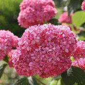 Invincibelle Spirit Hydrangea flower