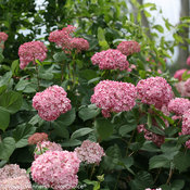 Invincibelle® Spirit II - Smooth hydrangea - Hydrangea arborescens
