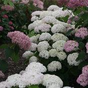 invincibelle_wee_white_hydrangea_arborescens.jpg