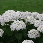 invincibelle_wee_white_reblooming_hydrangea_arborescens.jpg