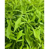 Proven Accents® Illusion® Emerald Lace - Sweet Potato Vine - Ipomoea batatas