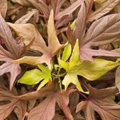 Proven Accents® Illusion® Garnet Lace - Sweet Potato Vine - Ipomoea batatas