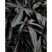 Proven Accents® Illusion® Midnight Lace - Sweet Potato Vine - Ipomoea batatas