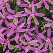 Patti's Pink™ - Star Flower - Isotoma axillaris