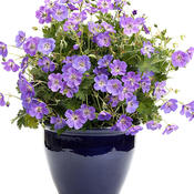 jolly_bee_geranium_03.jpg