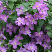 Jolly Good Clematis