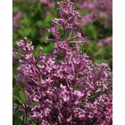 jpeg_syringa_bloomerang_purple_img_6142.jpg