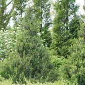 juniperus_gin_fizz_6.jpg