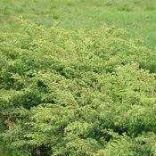 juniperus_tortuga_dsc08370.jpg
