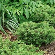juniperus_tortuga_dsc09779.jpg