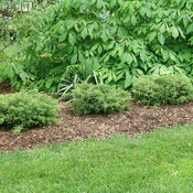juniperus_tortuga_dsc09797.jpg