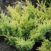 juniperusgoodvibrationsgold_img_7205.jpg