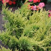 juniperusgoodvibrationsgold_img_7206.jpg